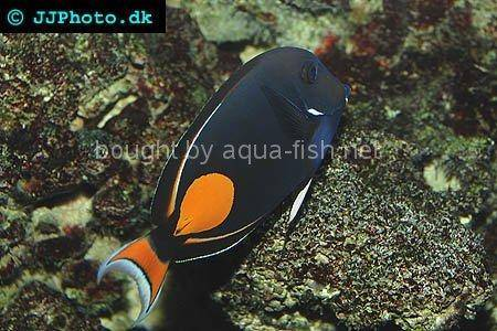 Achilles Tang, picture 3