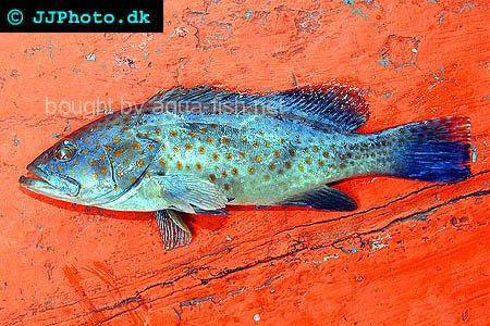 Areolate Grouper picture