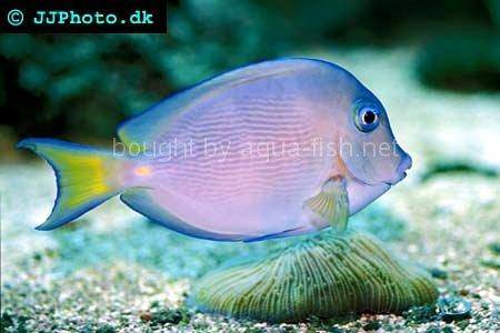 Atlantic Blue Juvenile, picture no. 1