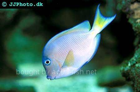 Atlantic Blue Juvenile, picture no. 3