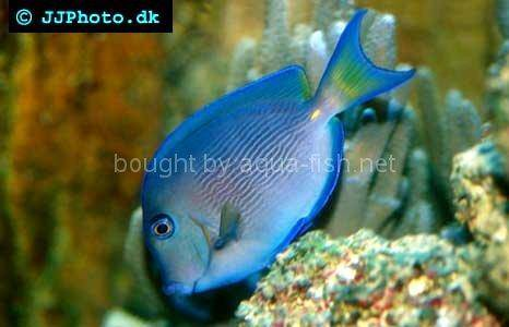 Atlantic Blue Juvenile, picture no. 4