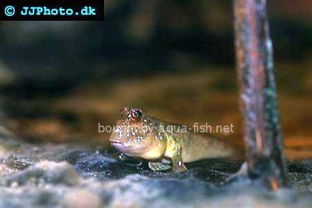 Atlantic Mudskipper picture 2