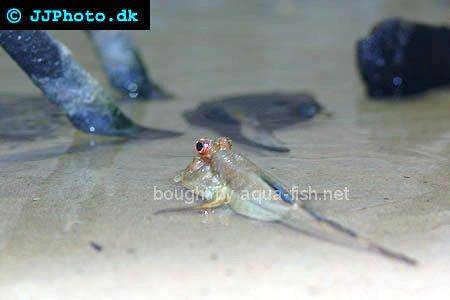 Atlantic Mudskipper picture 5
