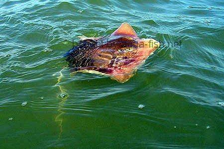 Atlantic stingray for Stingray fish tank
