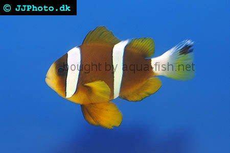 Barrier Reef Anemonefish picture