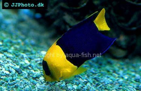 Bicolor Angelfish, picture no. 1