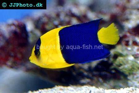 Bicolor Angelfish, picture no. 2