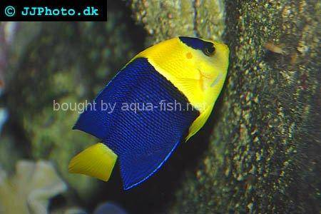 Bicolor Angelfish, picture no. 3