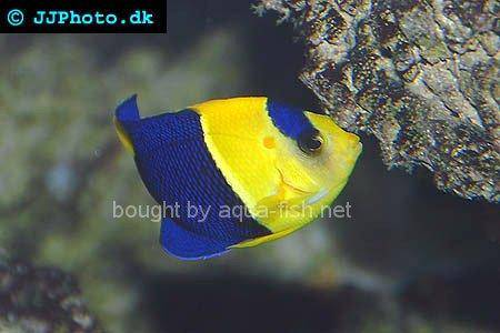 Bicolor Angelfish, picture no. 4