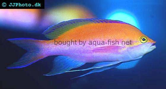 Bicolor Anthias picture