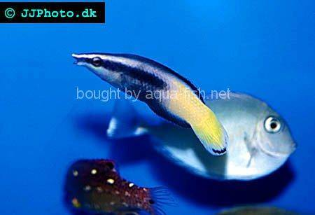 Bicolor Cleaner Wrasse picture