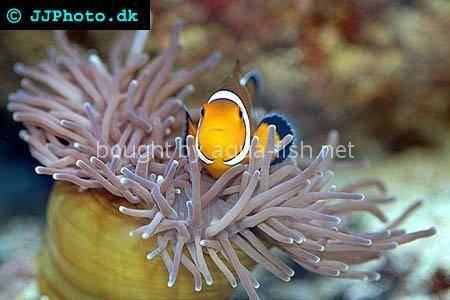 Black and white false ocellaris clown for Good beginner fish