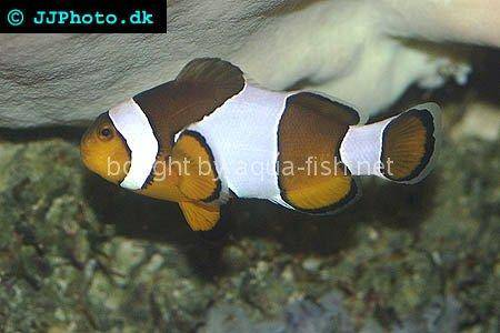 Black and White False Ocellaris Clown, picture number 2