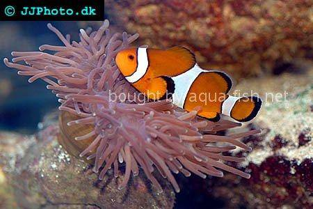 Black and White False Ocellaris Clown, picture number 7