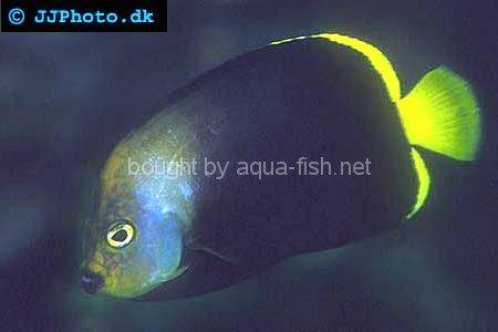 Black Velvet Angelfish, picture no. 1
