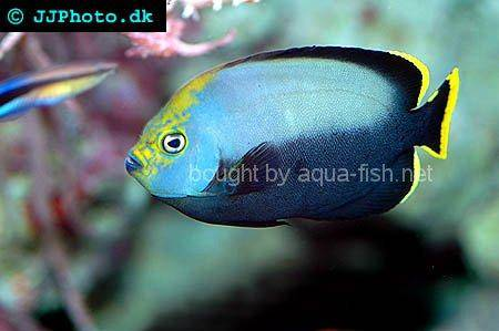 Black Velvet Angelfish, picture no. 2