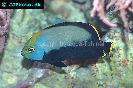 Black Velvet Angelfish, picture no. 3