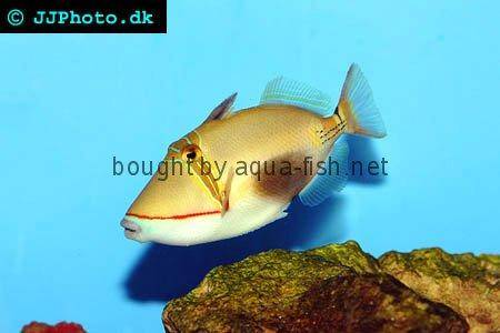 Blackbelly Triggerfish picture no. 1