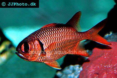Blotcheye Soldierfish picture