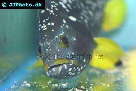 Blue And Yellow Grouper picture no. 2
