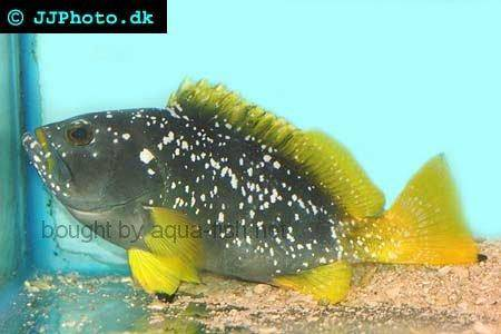 Blue And Yellow Grouper picture no. 3