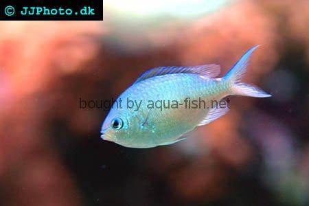 Blue Green Damselfish picture no. 1