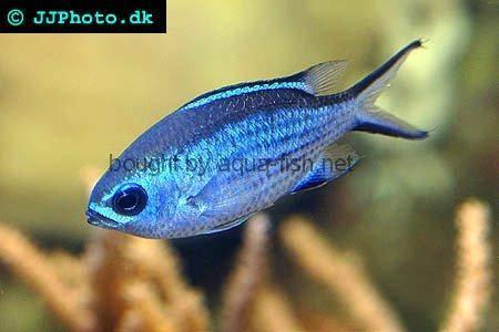 Blue reef chromis damsel for Blue saltwater fish
