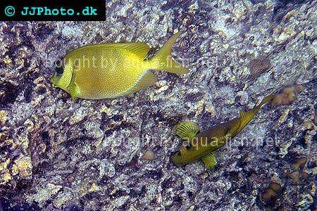 Blue-Spotted Spinefoot picture 1