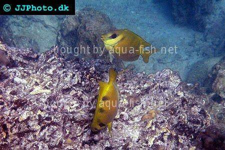 Blue-Spotted Spinefoot picture 2