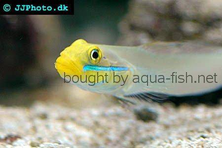 Blueband Goby picture 1