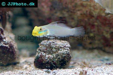 Blueband Goby picture 2