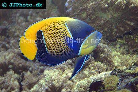 Bluegirdled Angelfish picture 1