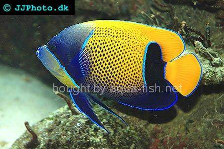 Bluegirdled Angelfish picture 2