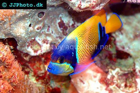 Bluegirdled Angelfish picture 3