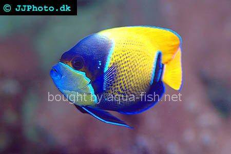 Bluegirdled Angelfish picture 4