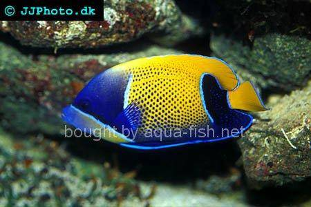 Bluegirdled Angelfish picture 5
