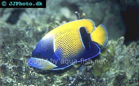 Bluegirdled Angelfish picture 6