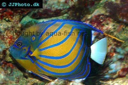 Bluering Angelfish picture 2
