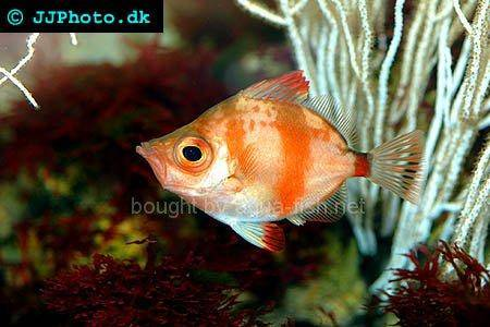 Boarfish, picture no. 1