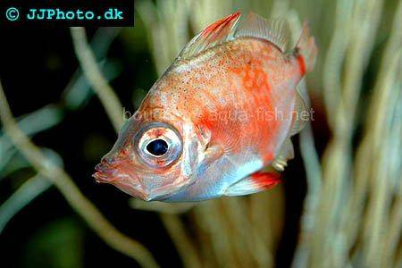 Boarfish, picture no. 2