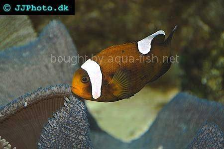 Brown Saddle Clown - A saltwater aquarium fish