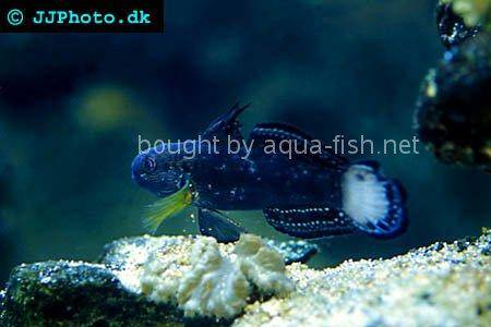 Butterfly Goby, picture 1