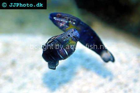 Butterfly Goby, picture 2
