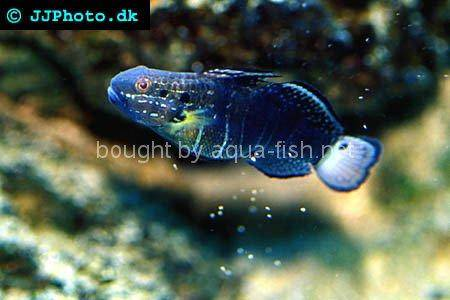 Butterfly Goby, picture 3