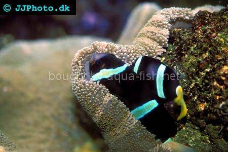 Clarkii Clown, picture 1