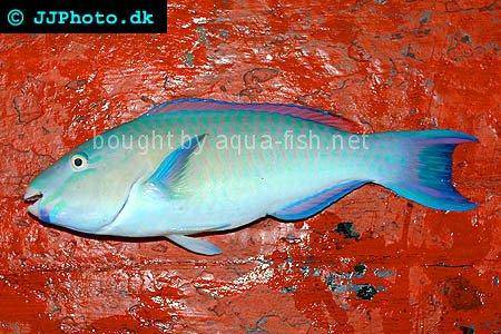 Common Parrotfish picture no. 1