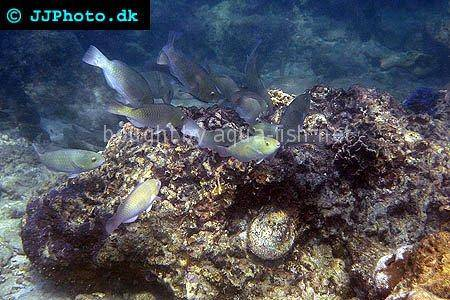 Common Parrotfish picture no. 2