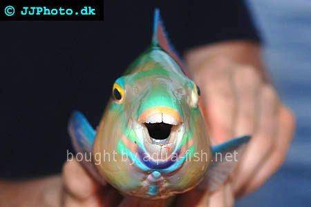 Common Parrotfish picture no. 3