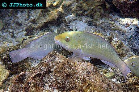 Common Parrotfish picture no. 4
