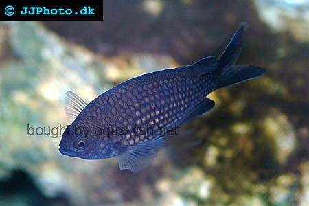 Damselfish picture